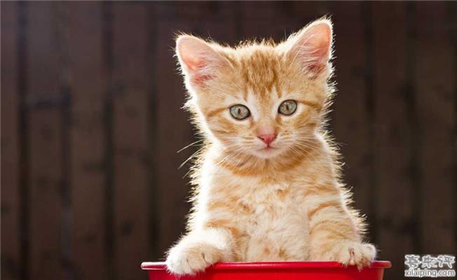 美国玳瑁色虎斑猫