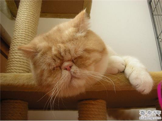 波斯猫和加菲猫_宠物花卉消费百科