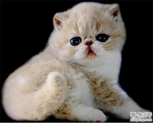 短毛波斯猫日常喂养护理方法