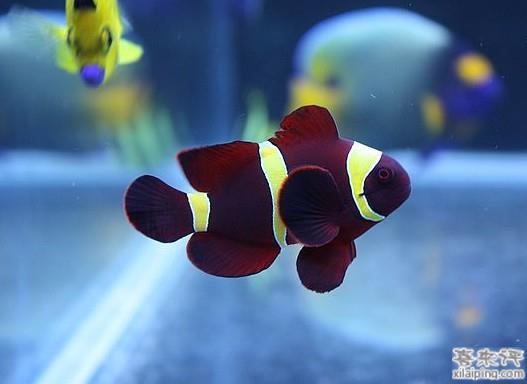 透红小丑鱼
