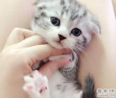 银虎斑猫加白