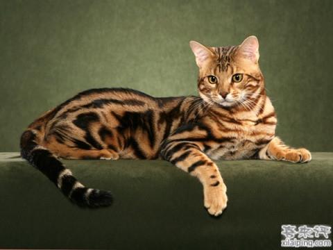 孟加拉豹猫的性格和价格