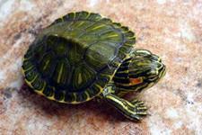 巴西斑彩龟