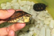 阿拉莫泥龟