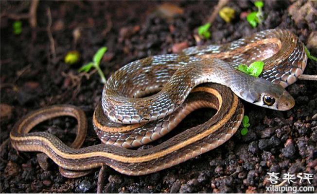 草腹链蛇喂养方法