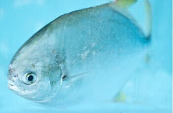 金鲳鱼和鲳鱼的区别方法
