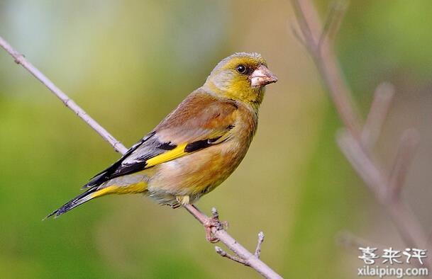 金翅雀驯养方法