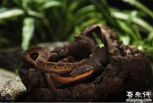 颈棱蛇繁殖