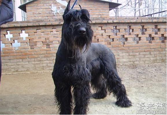 巨型雪纳瑞犬饲养方法
