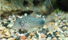 紫罗兰鼠鱼吃什么