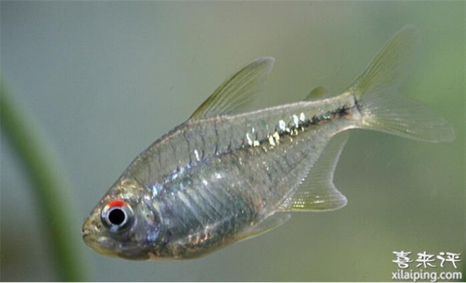 钻石灯鱼饲养方法