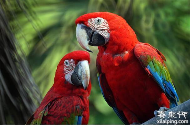绯红金刚鹦鹉价格